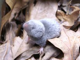 Northern shrew